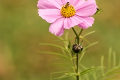 Fall Cosmos Blooms VI