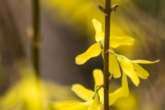 Forsythia Flowers II