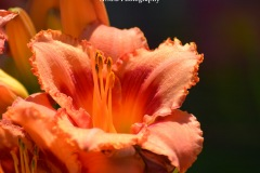 A macro shot of a peach and coral daylily growing in my home garden. Blurred daylily is this flower only blurred. Captured the Summer of 2017.