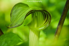 Macro image of a Jack-in-the-Pulpit captured on a hike in the Spring of 2017.