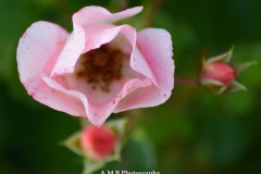 A macro shot of a mini rose bloom. The climbing rose bush it grows on is near our mailbox.