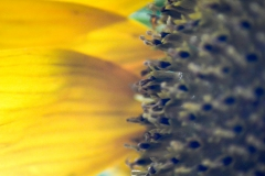 Macro Sunflower III