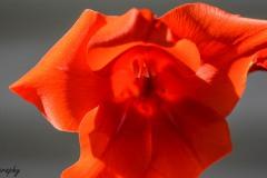 Orange Gladiolus III