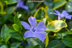 Periwinkle and Emerald & Gold Euonymus forming a wonderful ground-cover in our shade garden.