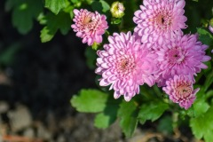 A macro shot of pink mums I recently planted along the sidewalk leading to our front door. Captured in the late summer of 2017.