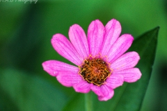 Pinkish Purple Zinnia