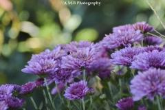 Purple Mums II
