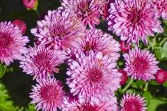 Purple Mums III
