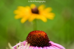 An interesting shot of a purple coneflower in the forefron and a black eyed susan in the background. Captured in our home garden in Peoria, Illinois the Summer of 2017.