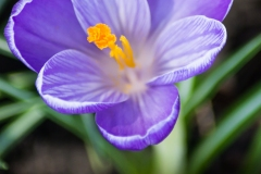 Purple and White Crocus Bloom