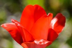 Sunny Tulip