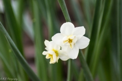 Tiny White Daffodils