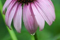 Wet Conflower II
