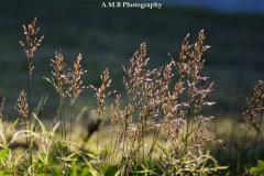 Wild Grasses III