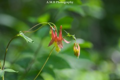 Wild Red Columbine were popping up along the path we hiked in Mid-May, 2017 at a local state park.