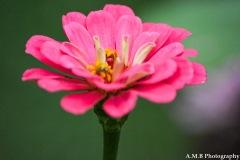 Zinnia Bloom II