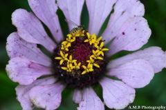 Zinnia Bloom IV