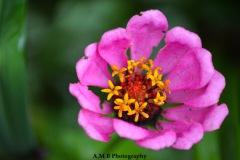 Zinnia Bloom