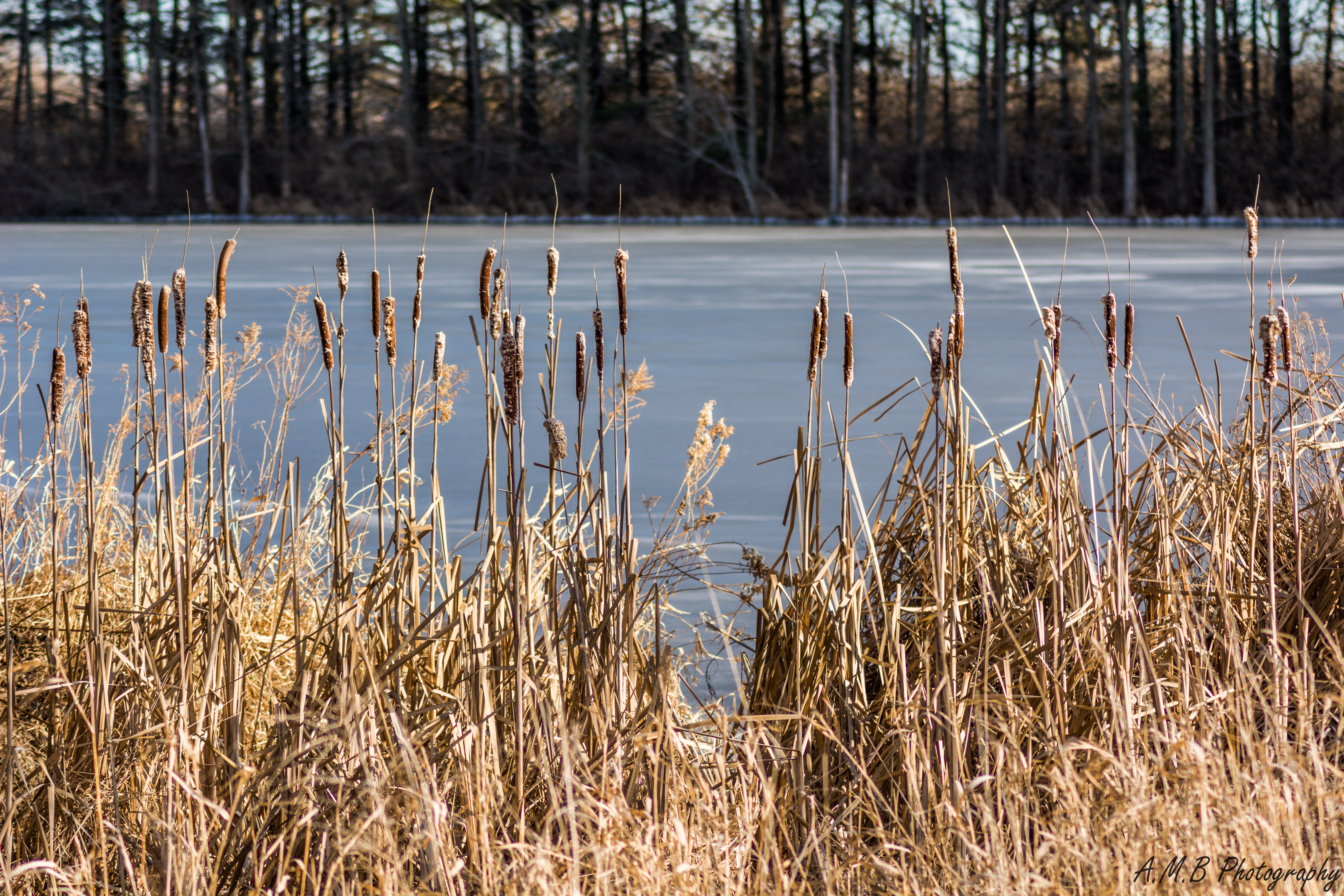 Cattails & Evergreens at Comlara Park II