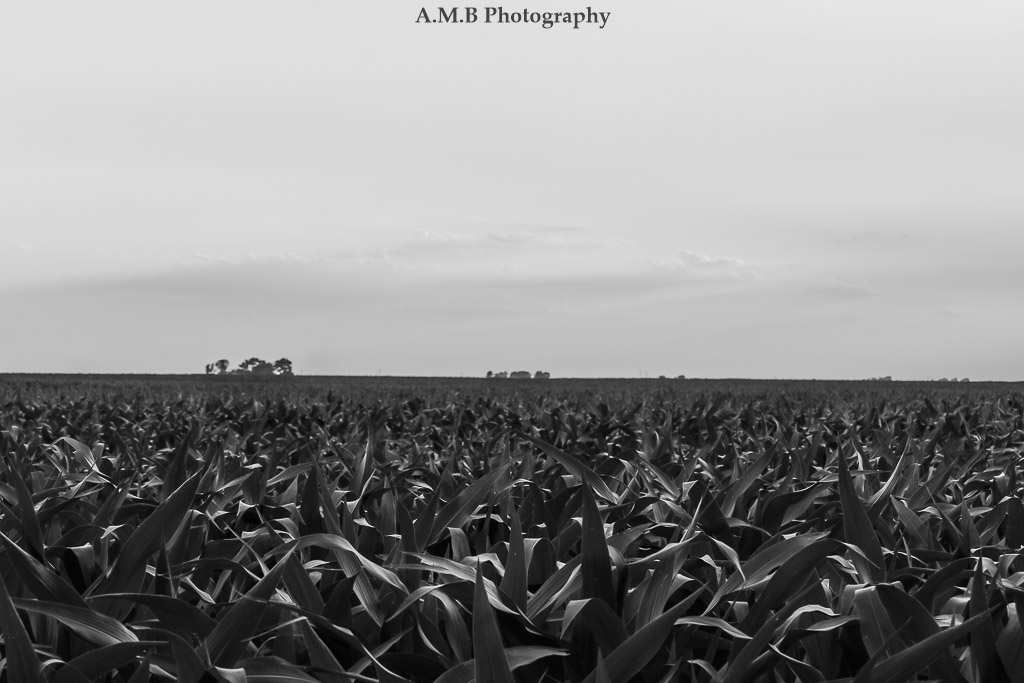 The field of corn growing behind our new home in Dana, Illinois. Captured in Black & White in the Summer of 2017.