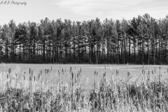 Cattails & Evergreens at Comlara Park