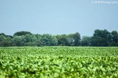Soybeans on the Farm II