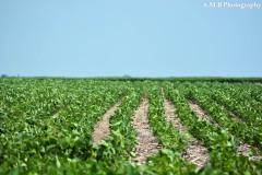 Soybeans on the Farm