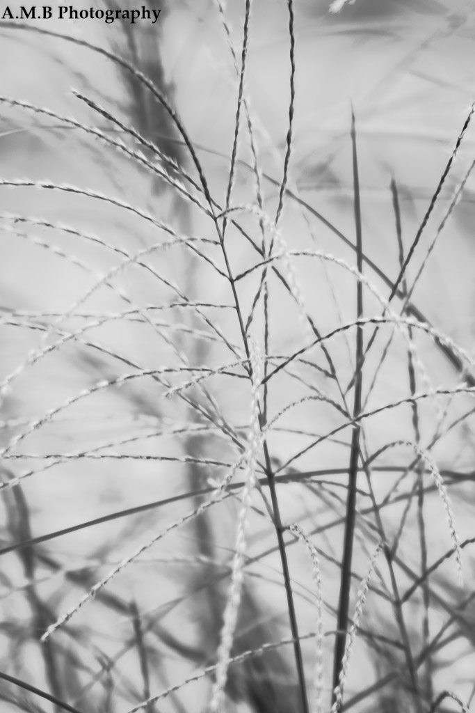 A macro shot in Black & White of ornamental grass growing at our house in Peoria. Captured in September, 2017.