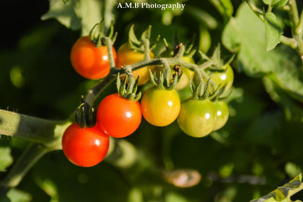 Cherry Tomatoes II