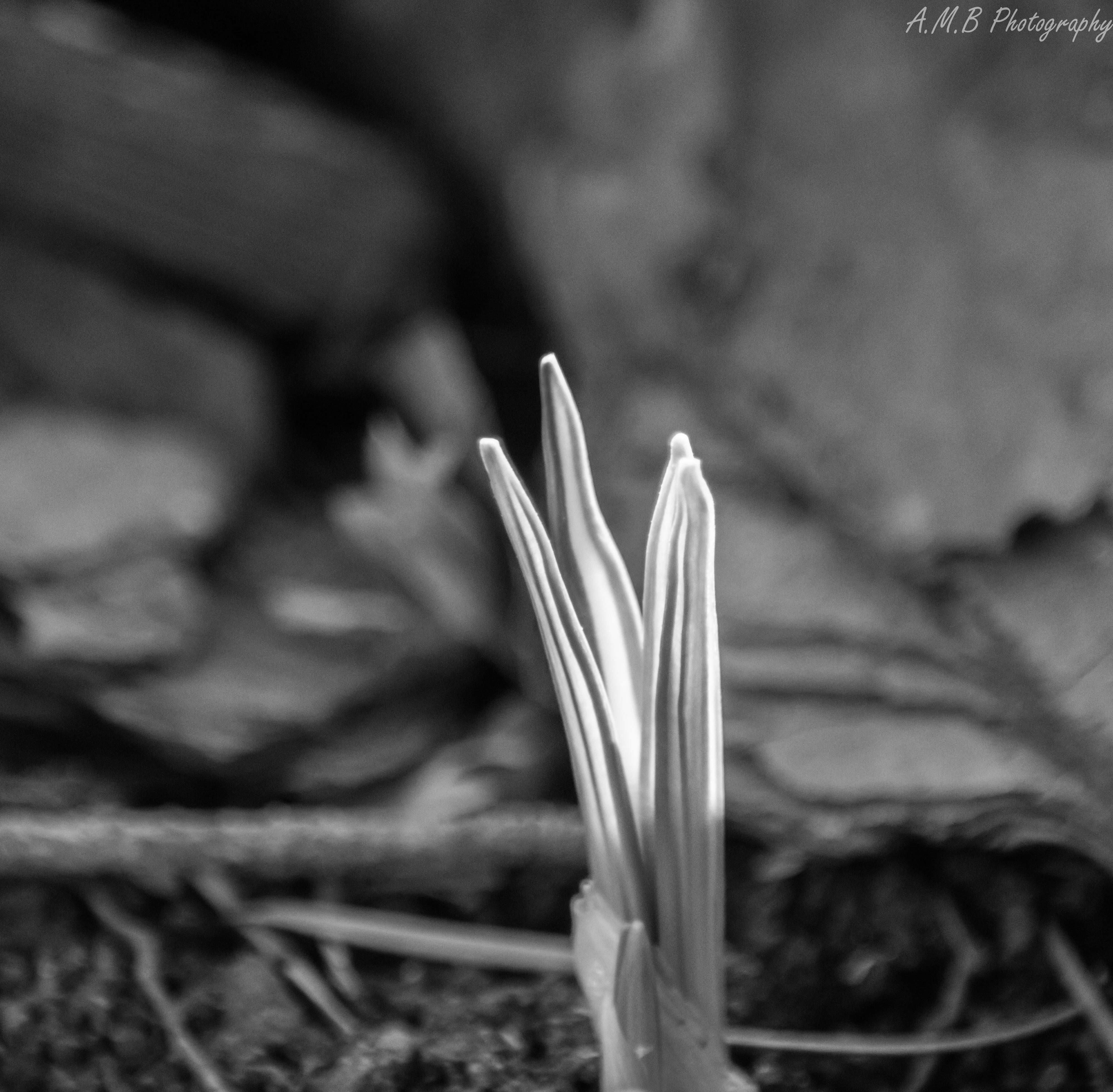 Crocus Leaves III