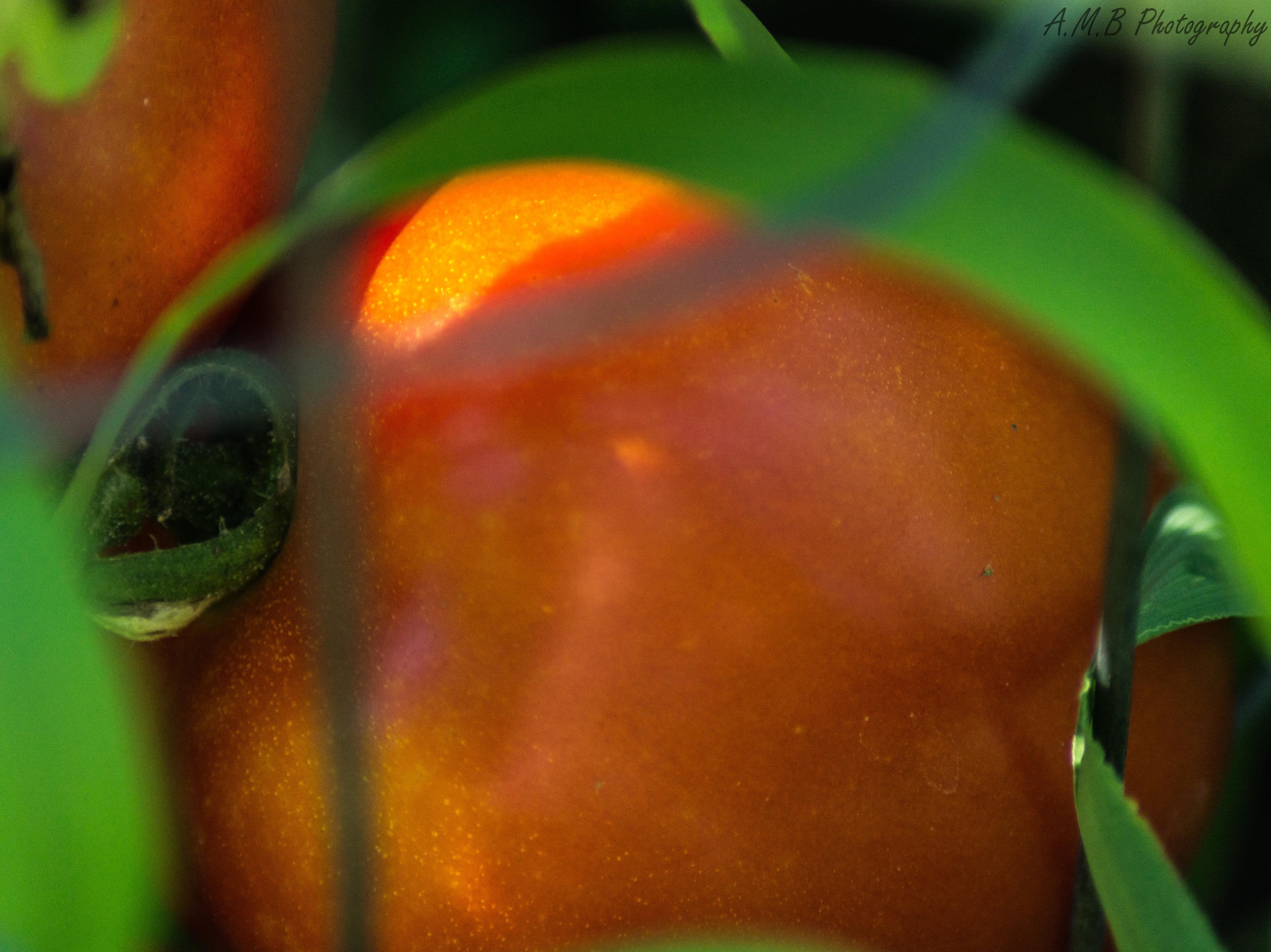 Early Girl Tomatoes II