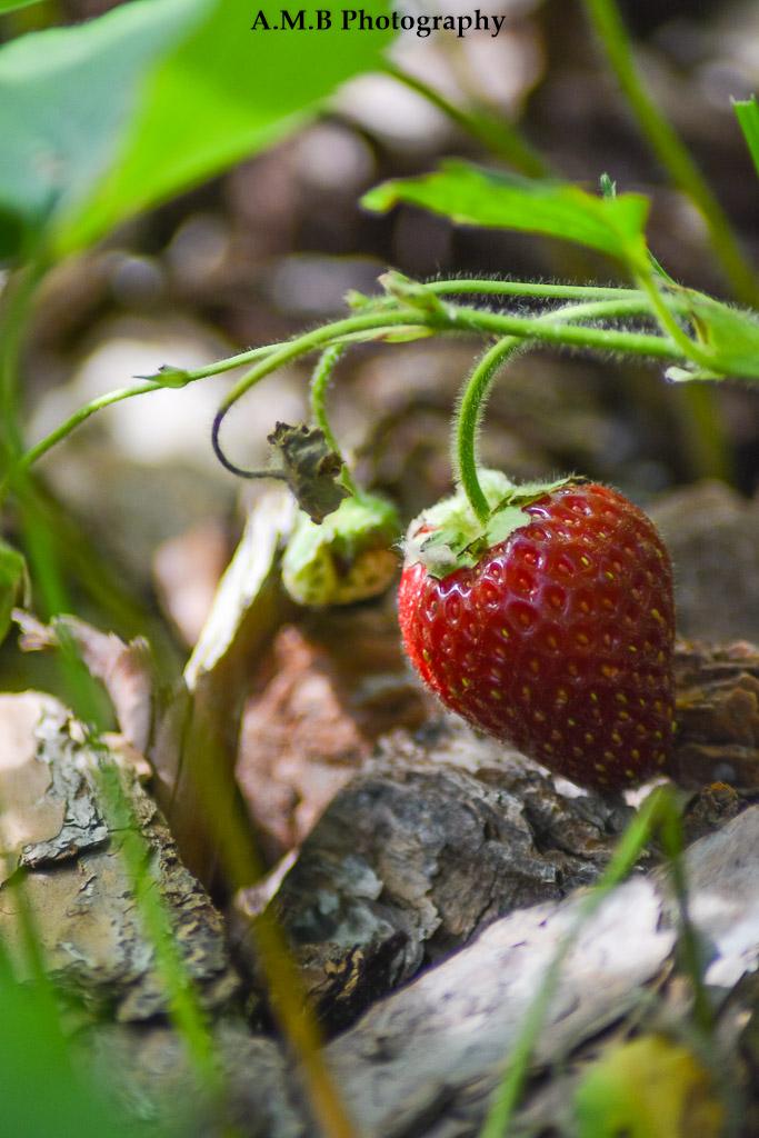 Fresh Strawberry II
