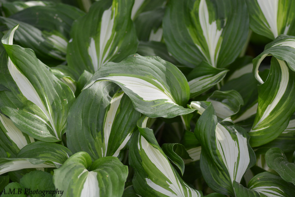 We love growing hosta of all kinds and sizes. Variegated ones are my favorites! Captured the Spring of 2017. :)