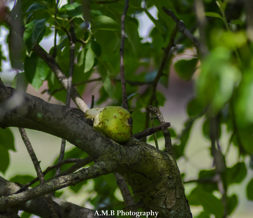 A half-eaten pear from I am guessing a squirrel, since they love munching on them. However, they never finish. So we keep finding half-eaten pears underneath the pear tree. Captured in Dana, IL the Summer of 2017.
