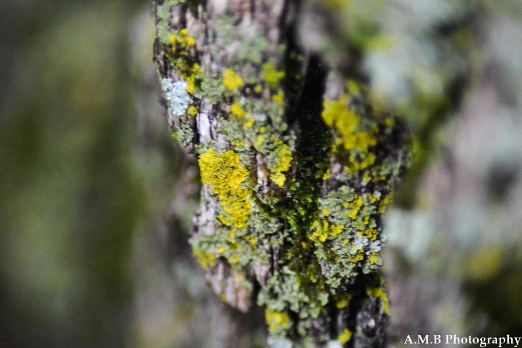 Lichen Bark