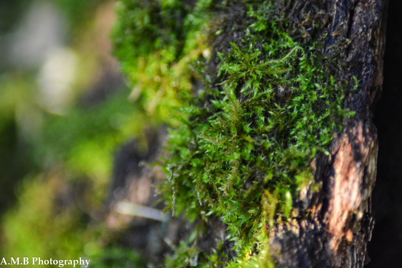 Mossy Stump IV