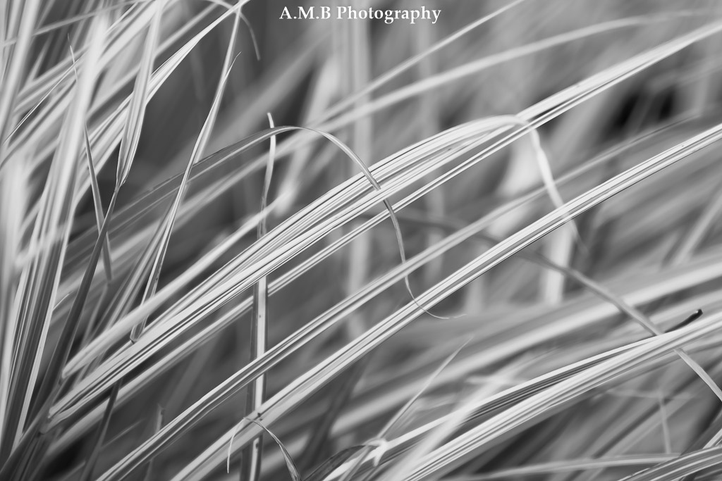 A macro shot of ornamental blades of grass growing at our house in Peoria. Captured in September, 2017.