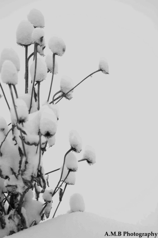 Snow Coneflower