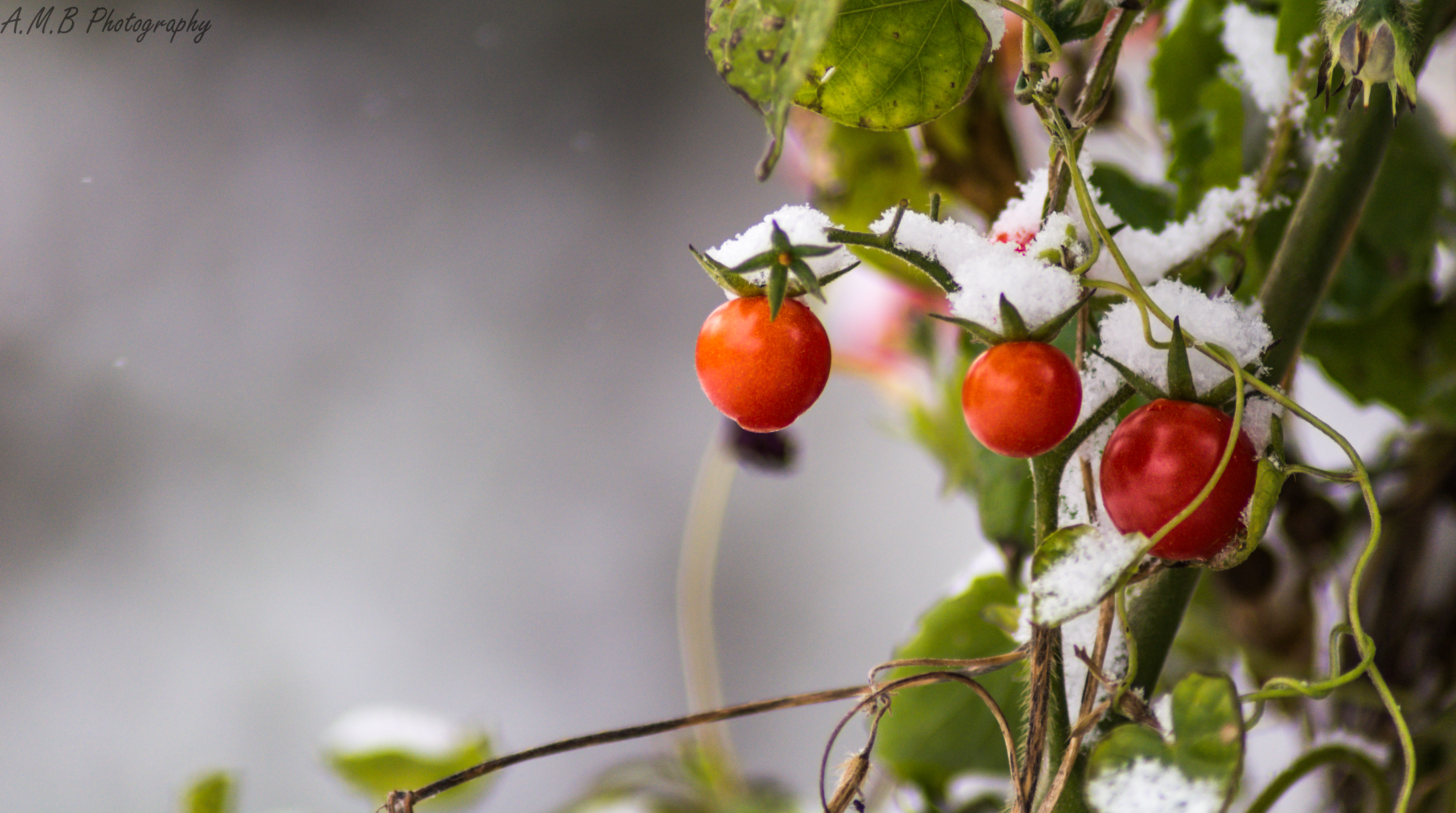 Snow Covered Tomatoes