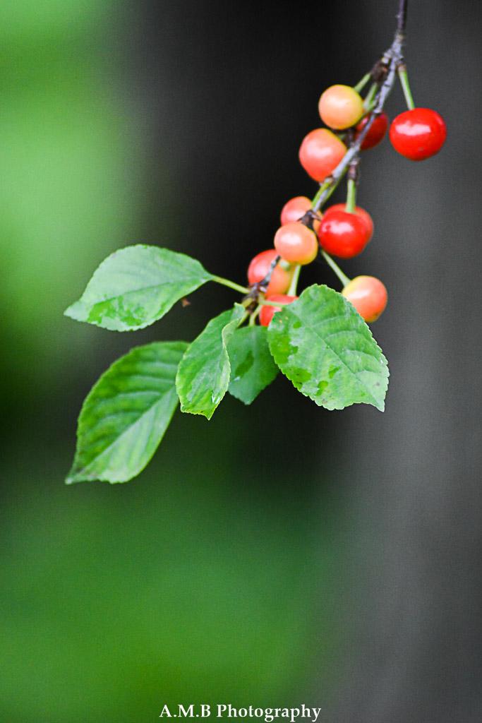 Sour Cherries II