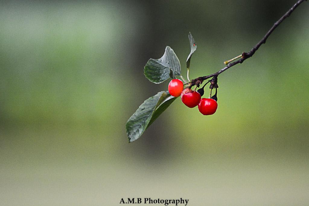 Sour Cherries III