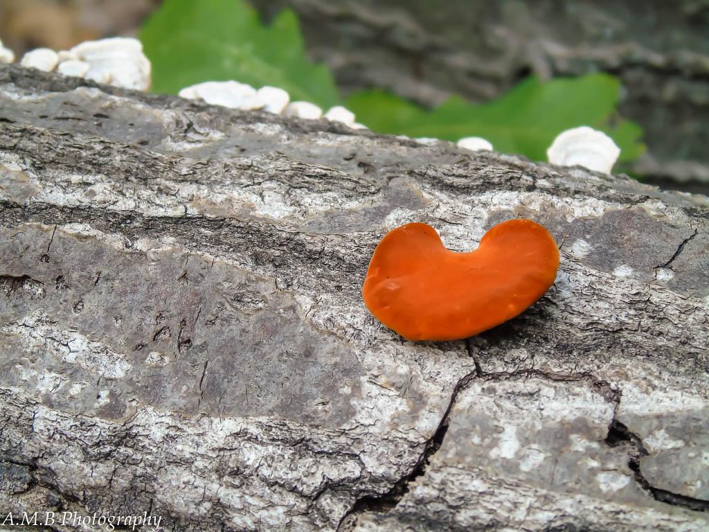 Tiny Orange (mushroom)