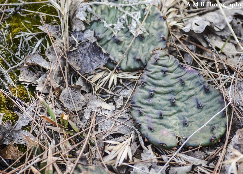 Trailside Cactus