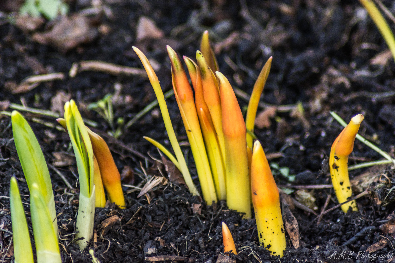 Tulip & Daffodil Leaves II