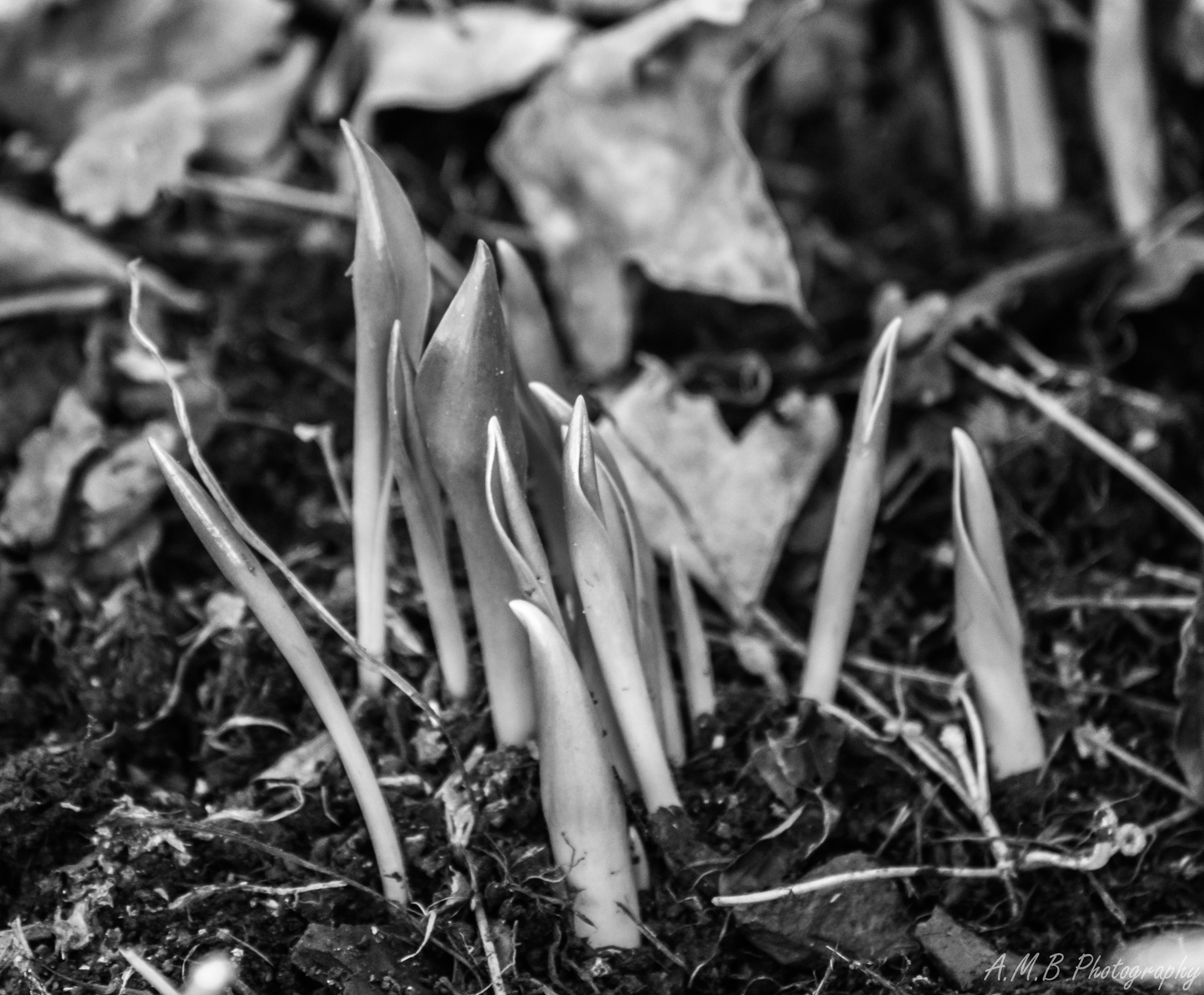 Tulip & Daffodil Leaves III