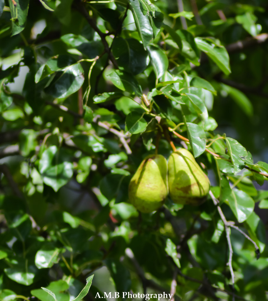 Lovely, ripe fruit growing on our pear tree in Dana, Illinois. Captured in the Summer of 2017.