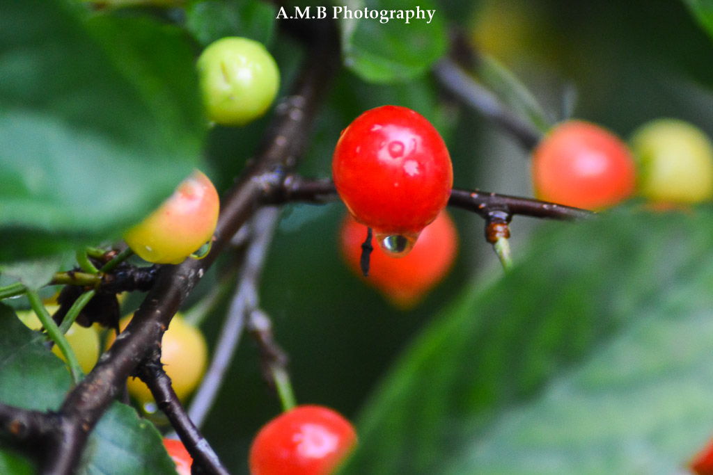 Wet Sour Cherry