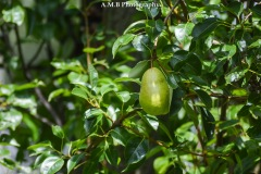 An almost ripe, lone pear growing on our pear tree in Dana, Illinois. Captured in the Summer of 2017.