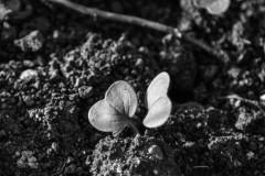 Radish Sprouts II