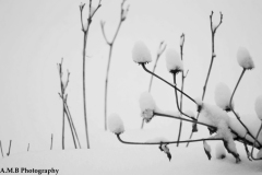 Snow Coneflower II
